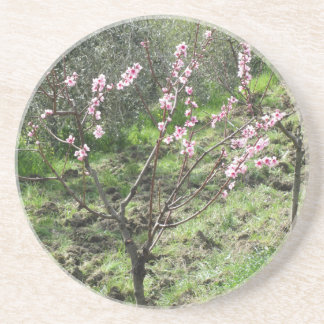 Single peach tree in blossom. Tuscany, Italy Coaster