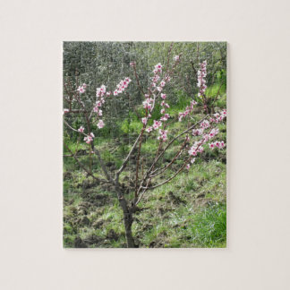 Single peach tree in blossom. Tuscany, Italy Jigsaw Puzzle