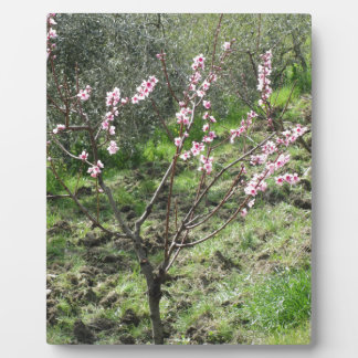 Single peach tree in blossom. Tuscany, Italy Plaque