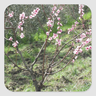 Single peach tree in blossom. Tuscany, Italy Square Sticker