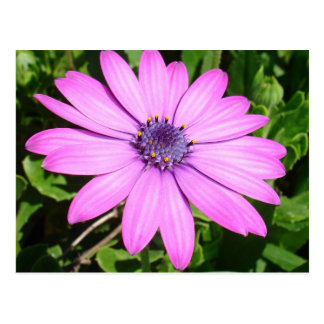 Single Pink African Daisy Against Green Foliage Postcard