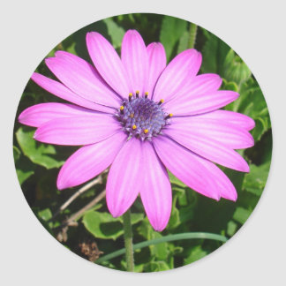 Single Pink African Daisy Against Green Foliage Round Sticker