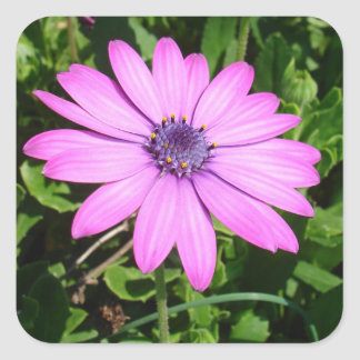 Single Pink African Daisy Against Green Foliage Square Sticker