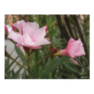 Single Pink Oleander 10 Postcard