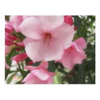 Single Pink Oleander 11 Postcard