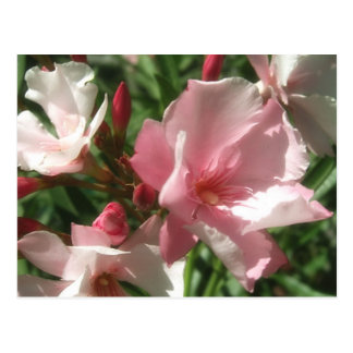 Single Pink Oleander 1 Postcard