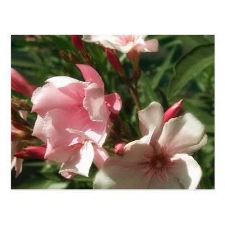 Single Pink Oleander 3 Postcard