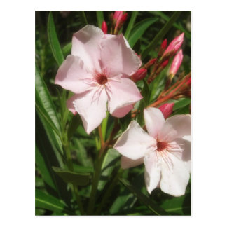 Single Pink Oleander 4 Postcard