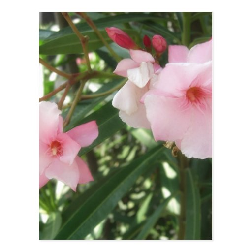Single Pink Oleander 5 Postcards