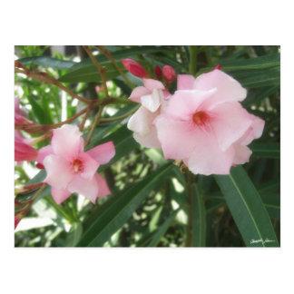 Single Pink Oleander 5 Postcard
