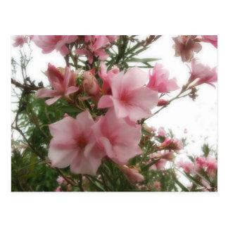 Single Pink Oleander 8 Postcard