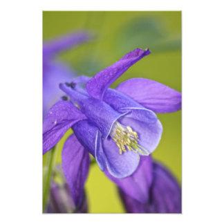 Single Purple Columbine Flower Photo Print