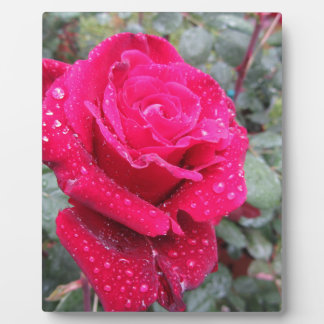 Single red rose flower with water droplets plaque