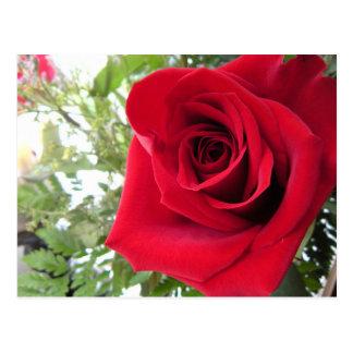 Single Red Rose Postcard