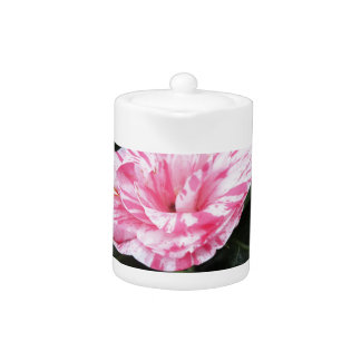 Single red streaked white flower Camellia japonica