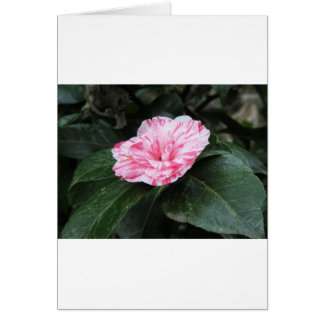 Single red streaked white flower Camellia japonica Card