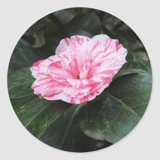 Single red streaked white flower Camellia japonica Classic Round Sticker