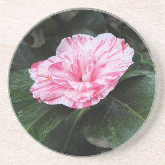 Single red streaked white flower Camellia japonica Coaster