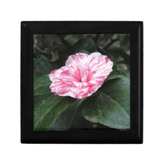 Single red streaked white flower Camellia japonica Gift Box