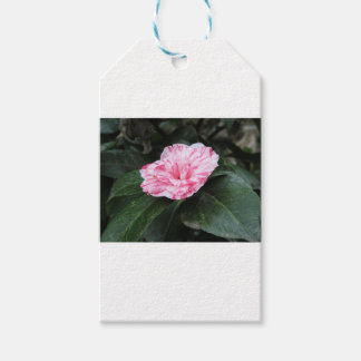 Single red streaked white flower Camellia japonica Gift Tags