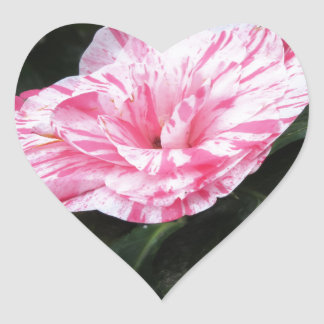 Single red streaked white flower Camellia japonica Heart Sticker