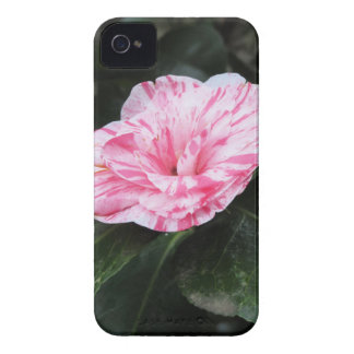 Single red streaked white flower Camellia japonica iPhone 4 Case-Mate Case
