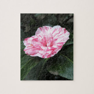 Single red streaked white flower Camellia japonica Jigsaw Puzzle
