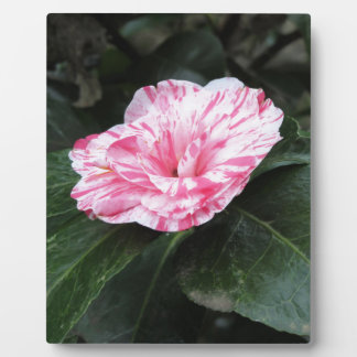 Single red streaked white flower Camellia japonica Plaque