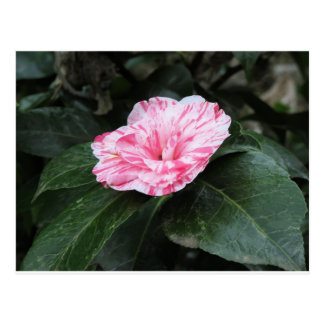 Single red streaked white flower Camellia japonica Postcard