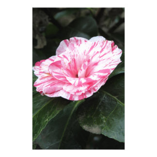 Single red streaked white flower Camellia japonica Stationery