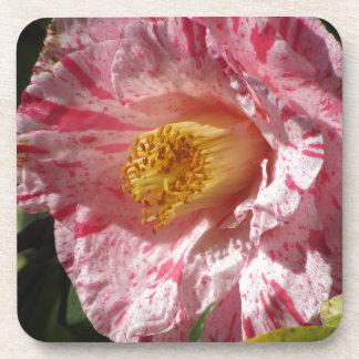 Single red streaked white flower of Camellia Coaster