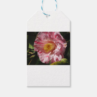 Single red streaked white flower of Camellia Gift Tags