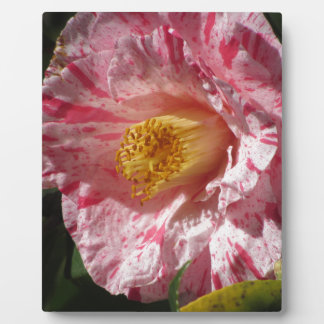 Single red streaked white flower of Camellia Plaque