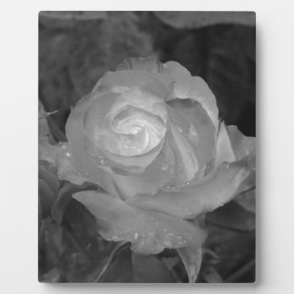 Single rose flower with water droplets in spring plaque