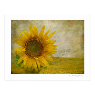 Single Sunflower on sunflower pasture Postcard