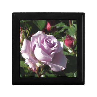 Single violet rose flower with red roses around gift box