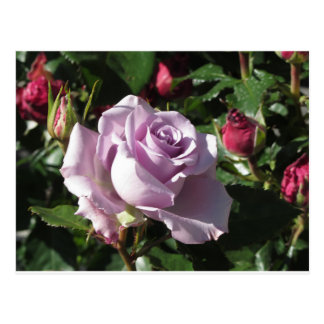 Single violet rose flower with red roses around postcard