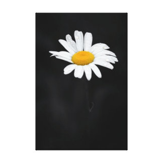 Single White and Yellow Daisy Flower on Black Canvas Print