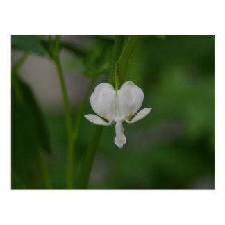Single White Bleeding Heart Postcard