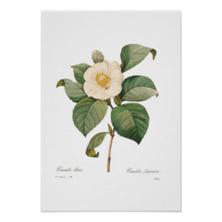 Single White Camellia Poster