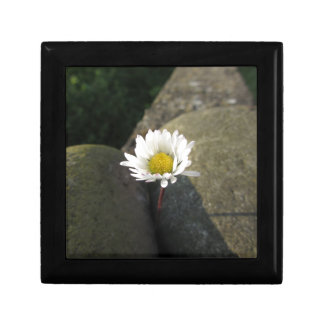 Single white daisy flower between the stones gift box