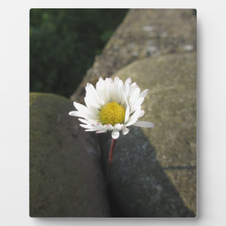 Single white daisy flower between the stones plaque