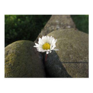 Single white daisy flower between the stones postcard