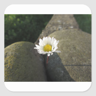 Single white daisy flower between the stones square sticker