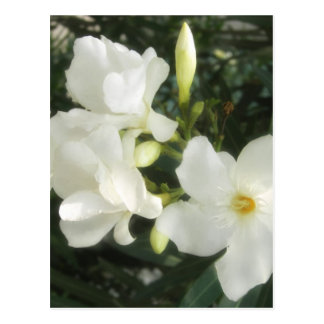 Single White Oleander 1 Postcard