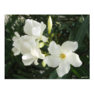 Single White Oleander 1 Postcard