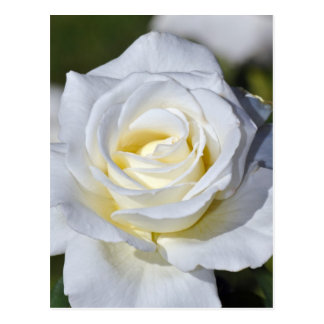 Single white rose blossoms postcard
