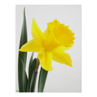 Single Yellow Narcissus Daffodil Print