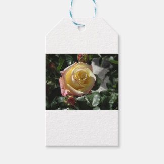 Single yellow rose flower in spring gift tags