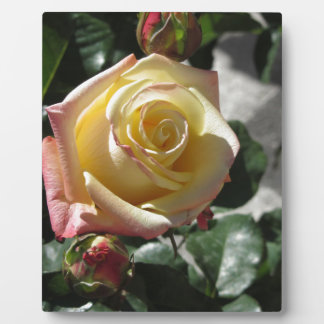 Single yellow rose flower in spring plaque
